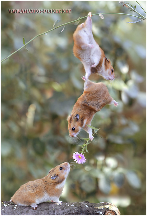 hamster_friendship